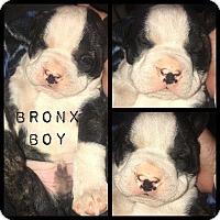 Adopt A Pet :: Bronx - Allen, TX