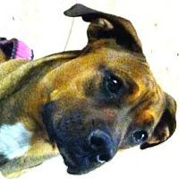 Adopt A Pet :: Harley - Gilbert, AZ