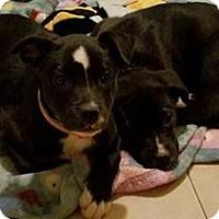 Adopt A Pet :: Sister pups - Palatine/Kildeer/Buffalo Grove, IL