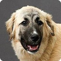 Adopt A Pet :: Bruno - St. Charles, MO