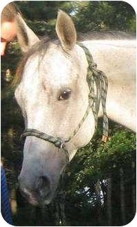 Quarterhorse Mix for adoption in Dewey, Illinois - Sierra