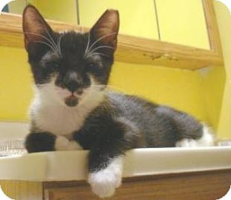 Domestic Shorthair Kitten for adoption in Miami, Florida - Batty