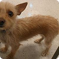 Adopt A Pet :: Arabella - Phoenix, AZ