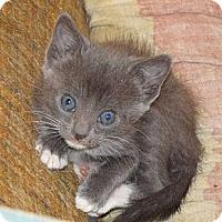 Adopt A Pet :: Kittens - Scottsdale, AZ