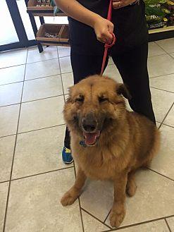 Shepherd (Unknown Type) Mix Dog for adoption in Houston, Texas - Kiba