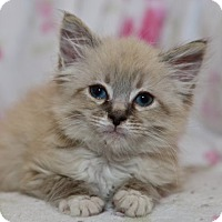 Adopt A Pet :: Gucci - Davis, CA