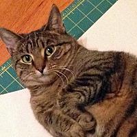 Domestic Shorthair Cat for adoption in Durham, North Carolina - Kona