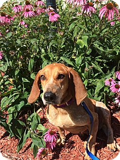 English (Redtick) Coonhound/Bluetick Coonhound Mix Dog for adoption in Orland Park, Illinois - Dolly - Dog