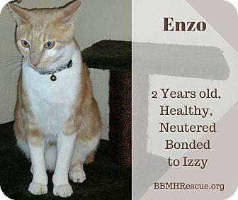 Domestic Shorthair Cat for adoption in Temecula, California - Enzo