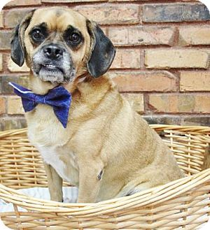 Pug/Beagle Mix Dog for adoption in Benbrook, Texas - Dodger
