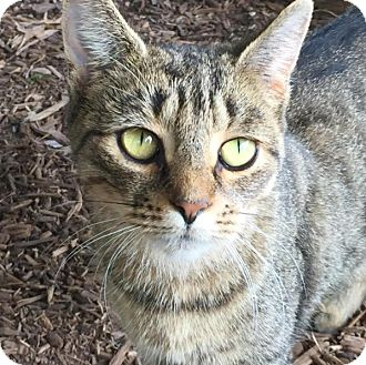 Domestic Shorthair Cat for adoption in New York, New York - Lilly
