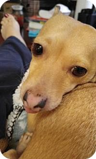 Chihuahua Dog for adoption in New Smyrna Beach, Florida - Roma