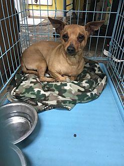 Rat Terrier Dog for adoption in Jackson, Mississippi - Jackson Pollack