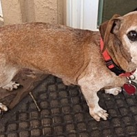 Dachshund Dog for adoption in Humble, Texas - Leopold