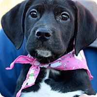 Hound (Unknown Type)/Shepherd (Unknown Type) Mix Puppy for adoption in West Grove, Pennsylvania - Dee Dee