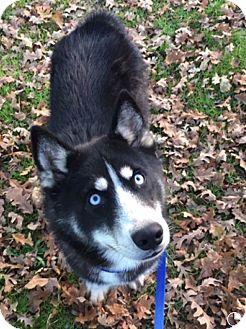 Siberian Husky Dog for adoption in Rancho Mirage, California - BANDIT