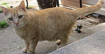 Domestic Mediumhair Cat for adoption in Colonial Beach, Virginia - Jana