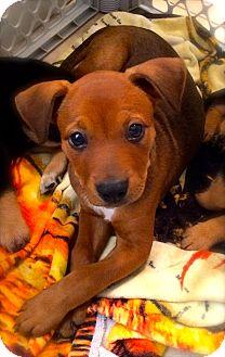Vizsla/Labrador Retriever Mix Puppy for adoption in Miami, Florida - Lexa