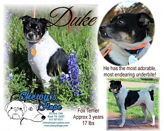 Jack Russell Terrier/Rat Terrier Mix Dog for adoption in Boyd, Texas - Duke