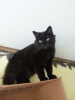 Domestic Longhair Cat for adoption in Brainardsville, New York - Ginger