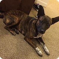 Adopt A Pet :: Francie - Cranford, NJ