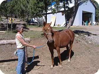 Quarterhorse Mix for adoption in Durango, Colorado - Greta Garbo