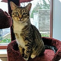 Domestic Shorthair Cat for adoption in Salt Lake City, Utah - Greta Garbo