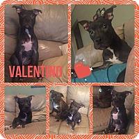 Adopt A Pet :: Valentino - Steger, IL