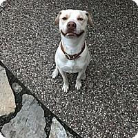 Adopt A Pet :: Blue - Seattle, WA