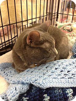 American Shorthair Cat for adoption in Vero Beach, Florida - Lady Skyye