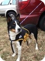 Border Collie/Australian Shepherd Mix Dog for adoption in Russellville, Kentucky - Smokey