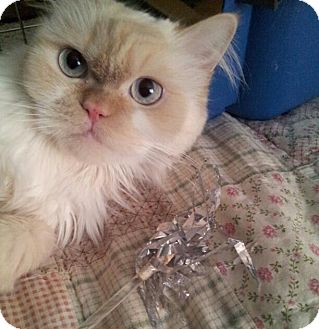 Himalayan Cat for adoption in Columbus, Ohio - Princess