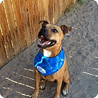 Adopt A Pet :: Muffin - Gilbert, AZ