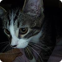 Adopt A Pet :: Baldrick - Hamburg, NY