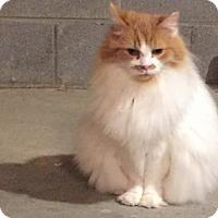 Adopt A Pet :: *Buttercup - Chattanooga, TN