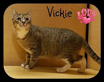 Domestic Shorthair Cat for adoption in Orlando, Florida - Vicki (LB) 9.22.14