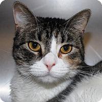 Adopt A Pet :: Cimmaron - Casa Grande, AZ