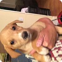 Adopt A Pet :: Chevelle - Allentown, PA