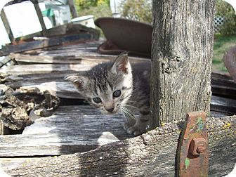 Domestic Shorthair Kitten for adoption in Walnut, Iowa - Sweet Butter