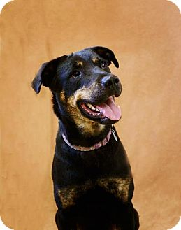 Rottweiler Mix Dog for adoption in Pekin, Illinois - Trista