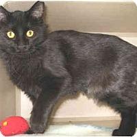 Adopt A Pet :: Midnight - Mesa, AZ