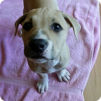 Adopt A Pet :: Leilah - Hollywood, FL