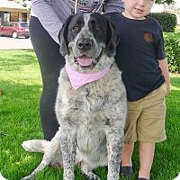 Adopt A Pet :: Lillie GENTLE GIANT - Sacramento, CA