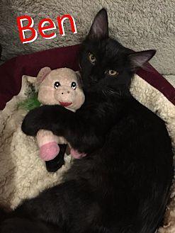 Domestic Mediumhair Cat for adoption in Yuba City, California - Benelli