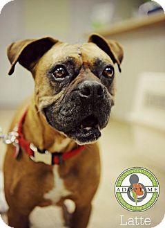 Boxer Dog for adoption in Oceanside, California - Latte