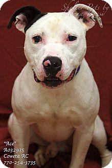 American Bulldog Mix Dog for adoption in Newnan City, Georgia - Ace
