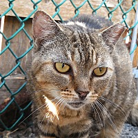 Adopt A Pet :: Cringle - Carmel, NY