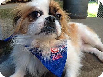 Japanese Chin Mix Dog for adoption in Lincolnwood, Illinois - Cookie