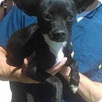 Adopt A Pet :: Frida Candy - Seattle, WA
