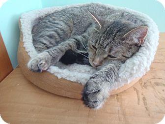 Domestic Shorthair Cat for adoption in Huntsville, Ontario - Jasmine - Party Girl!